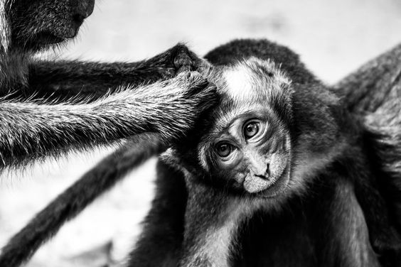 Monkeys cleaning babies. Lovely eyes.