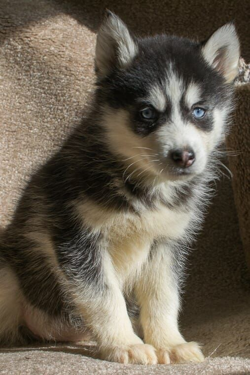 Siberian Husky Puppy For Sale In Kent Oh Adn 59479 On