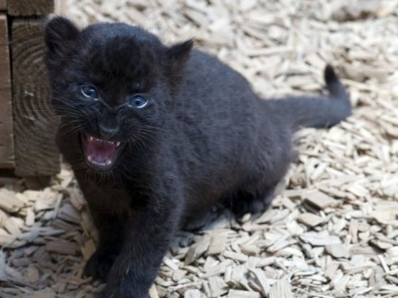 "Baby Black Panther | Baby Panther ""Trying to act like he's ..."