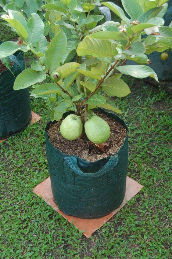 Por Mp Growing Fruit Trees Dwarf Fruit Trees Fruit Garden