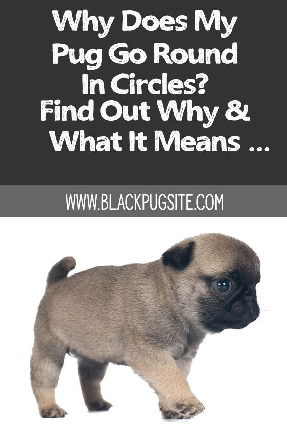 Why Does My Pug Go Round In Circles What You Need To Know Pugs