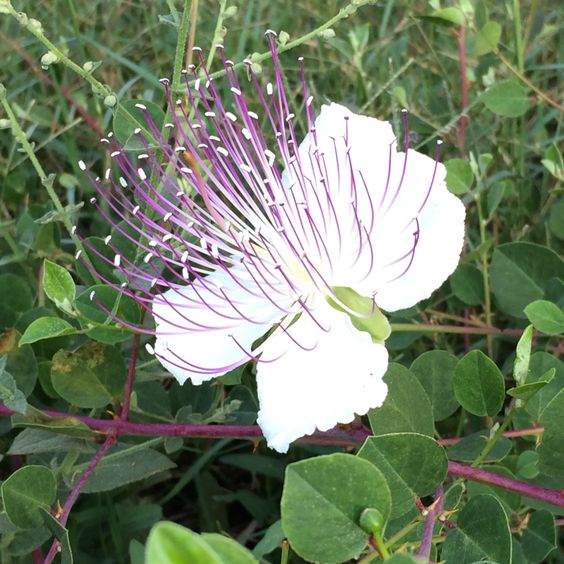 Capers blossam.