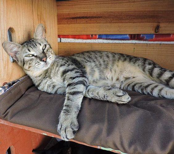 """""""Tava aqui de boinha no meu sono, até chegar sás tiia que não resistem ao meu charme e me acordar com essas fotos. Ninguém merece ser tão lindo, viu!""""  #vidadelindonãoéfacil --------------------------------------------------- www.catland.org.br www.catlandlojinha.com.br  catlandrescue@gmail.com --------------------------------------------------- #catland #gocatland #catlandrescue #instacats #catlovers #catsofinstagram #catoftheday #ilovecats #adote #adotenãocompre"""