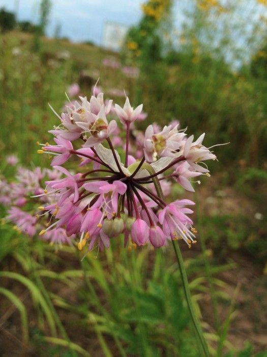 Nodding Wild Onion (Allium cernuum) Edible Wildflowers