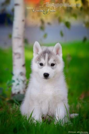 Find Your Dream Puppy Of The Right Dog Breed At With Images Puppies Siberian Husky Puppies