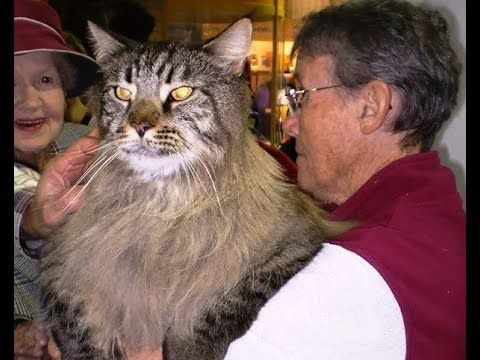 The Largest Domestic Cats In The World Youtube Largest Domestic Cat Domestic Cat Cats
