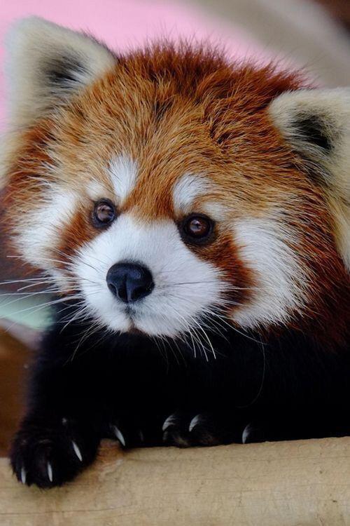 Imagen de animal, cute, and Red panda