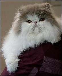 Untitled With Images Persian Kittens Persian Cat Pretty Cats