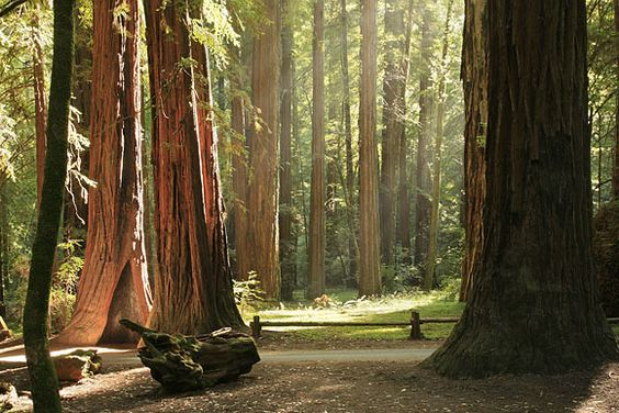 Armstrong Grove near Santa Rosa, CA..must visit my uncle bob and stop by here.