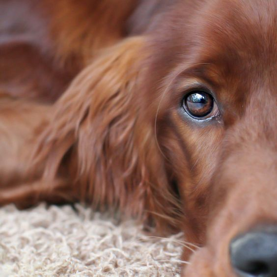 Ever since I met my boyfriends Irish Setter I've wanted one but no matter what, no Irish Setter will ever be Prince.