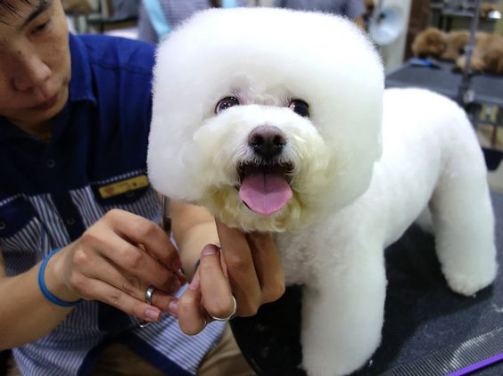"""Tang Xiong Xiong, a Bichon Frise, came into the salon as a ball of fluff and emerged with her head shaped like a square. """"She's getting used to it,"""" says her owner."""