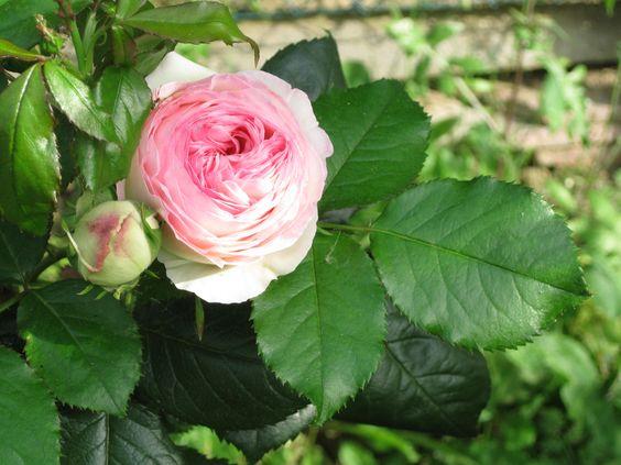 la mia rosa antica...