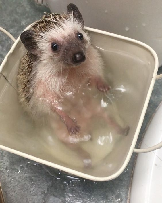 A Tiny Hedgehog Adorably Paddles Her Little Paws While Sitting Upright in the Bath