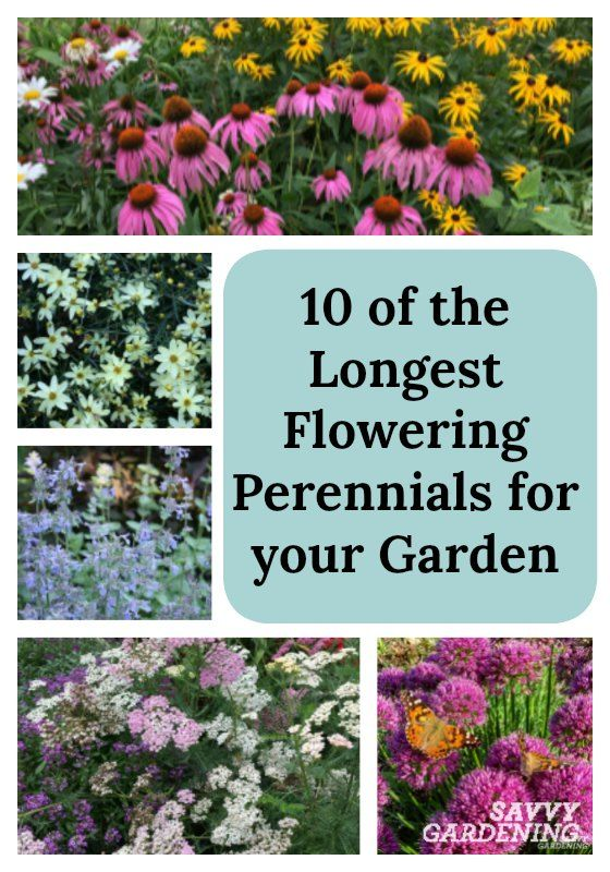 10 Of The Longest Flowering Perennials For Your Garden Beautiful Flowers Garden Plants Garden Shrubs