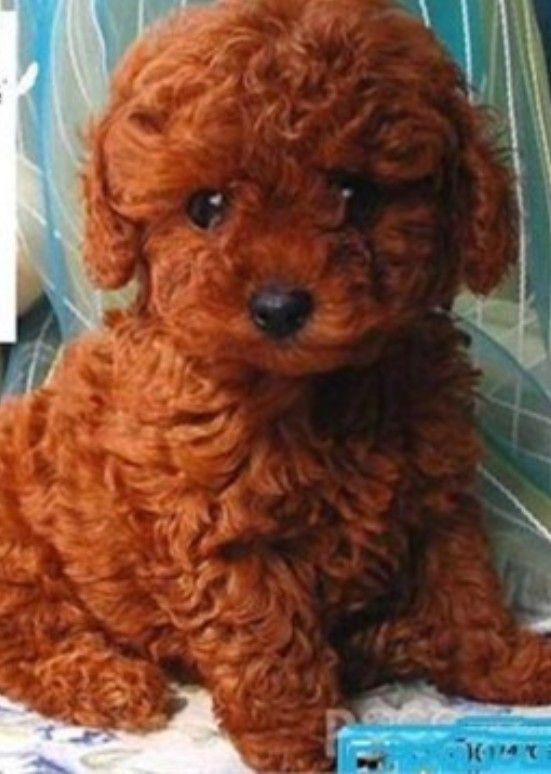 He Or She Doesnt Look Real So Cute Poodle Dog Mini Poodles