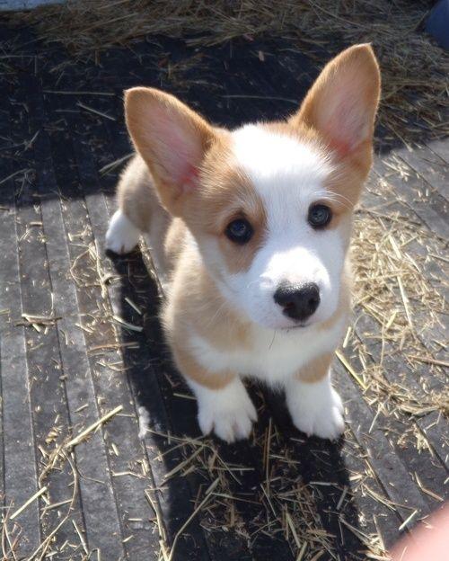 Pembroke Welsh Corgi Puppies For Sale Alabaster Al Corgi