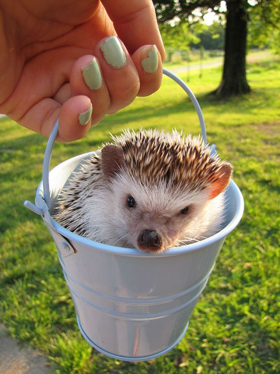 What Could Be Cuter Than A Hedgehog In A Pail?: