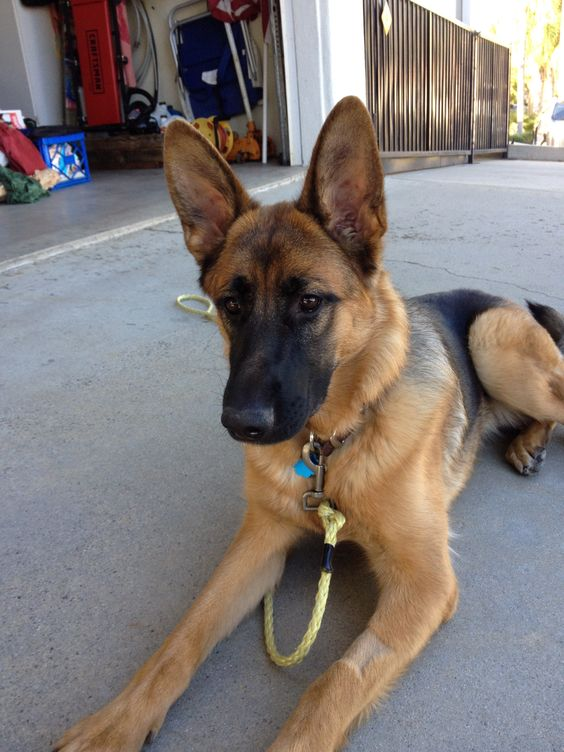 love with german shepherd nikki falcon