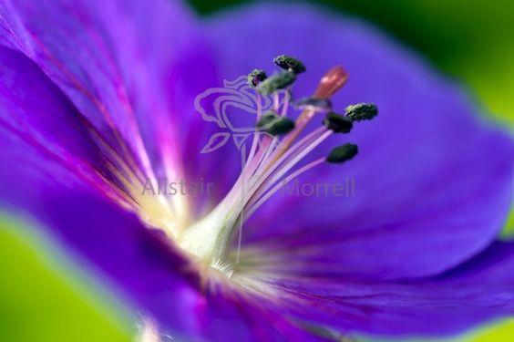 Geranium – Alistair Morrell Photography