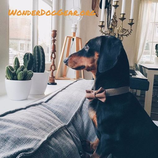 #dachshund #lowrider #dachshundlove #dachshundlife #dachshundpuppy #dachshundlover #dachshundclub #dachshunddad #dachshundmom #dachshundaholic #dachshundofinstagram