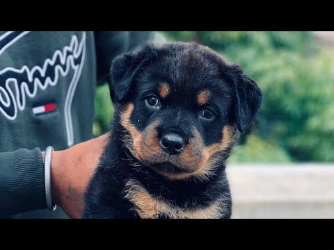 Pinschers Rottweilers Youtube In 2020 Rottweiler Puppies For