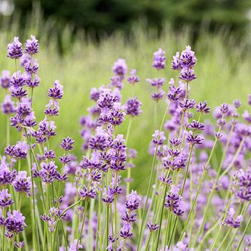 'Croxton's Wild' English Lavender - This selection is similar to the wild lavender that grows in the Mediterranean. 'Croxton's Wild' shows off light violet and purple flowers in late spring and early summer and has a loose, open form.