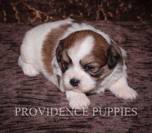Fox Terrier Toy Schipperke Mix Puppy For Sale In Wayland Ia