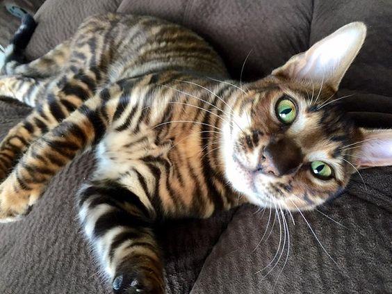 gatto toyger3