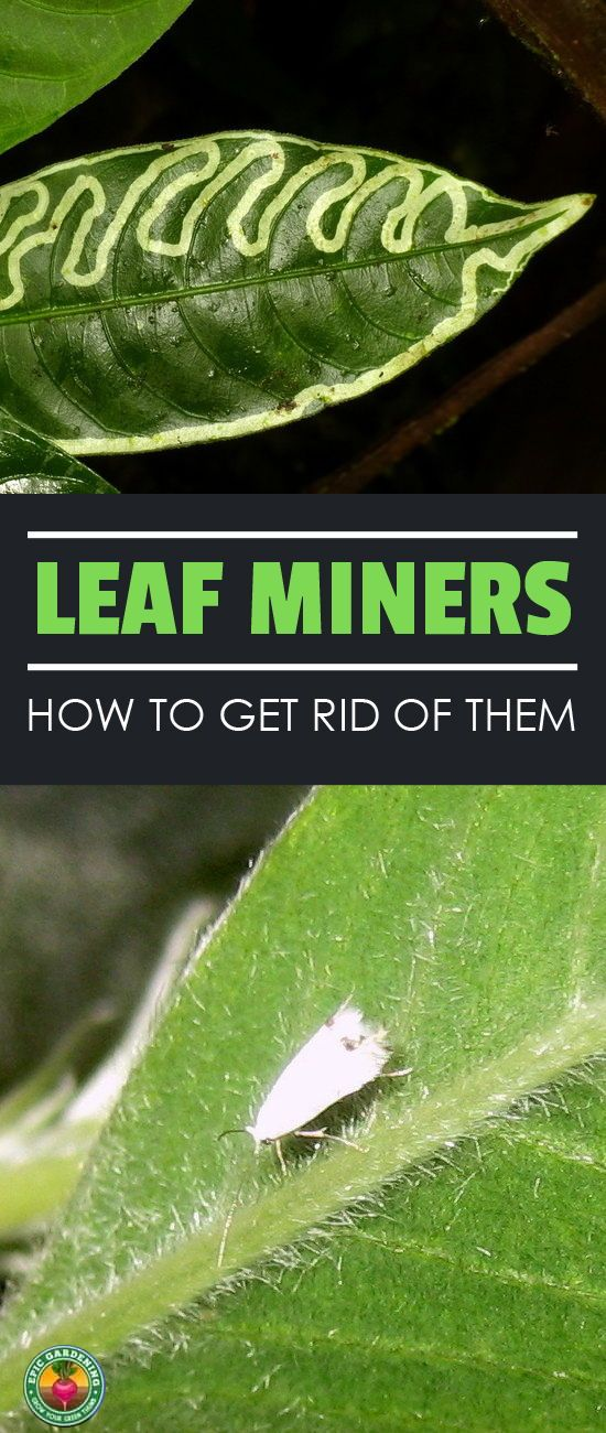 Send Leaf Miners Packing How To Get Rid Of Them Fast Garden