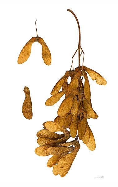 File:Acer pseudoplatanus MHNT.BOT.2004.0.461.jpg
