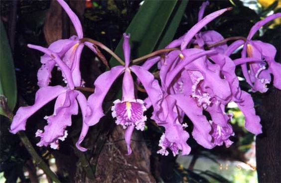 blorchid.jpg (574×374)