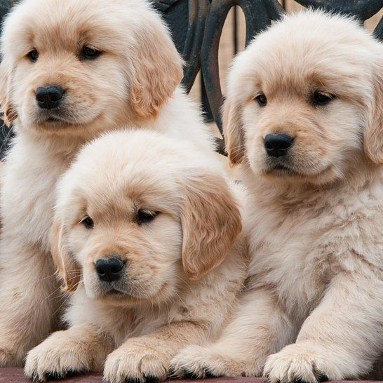 Pin By Manisha Darji On Puppies Dogs Dogs Golden Retriever