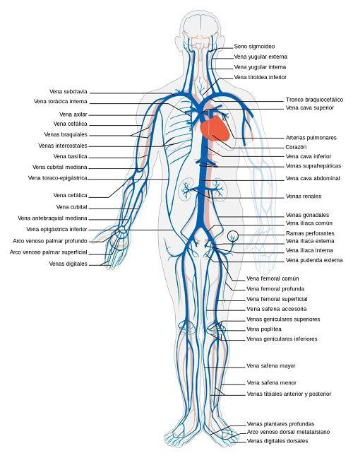 Cual Es La Diferencia Entre Una Arteria Y Una Vena Arterias Del Cuerpo Anatomia Del Cerebro Humano Cuerpo Humano Imagenes