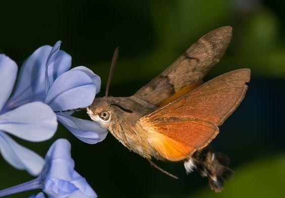La mariposa colibrí
