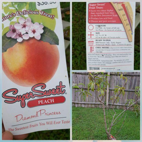 Peach tree- 2016