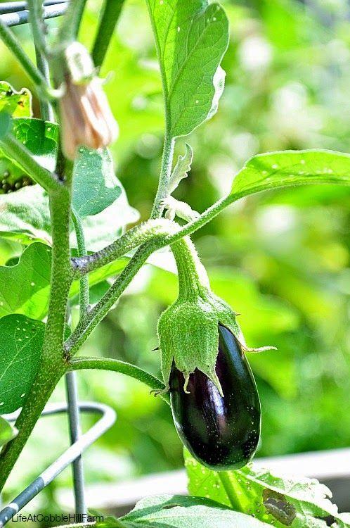 Eggplants on Pinterest