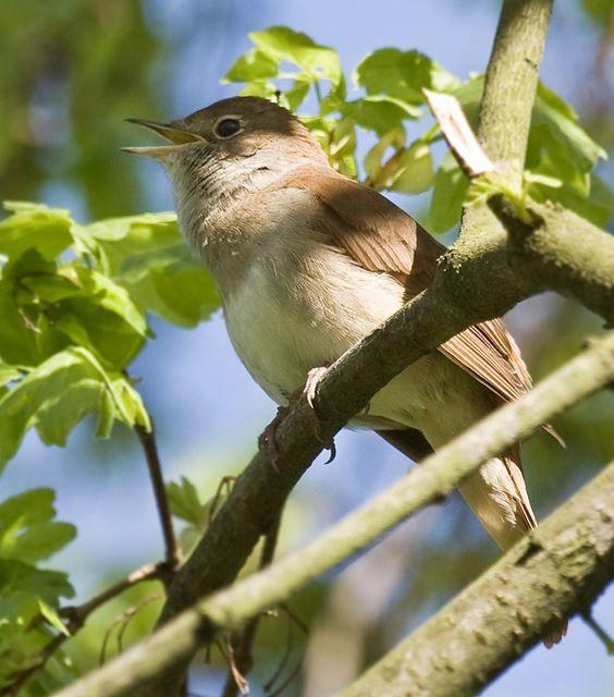 nightingale: