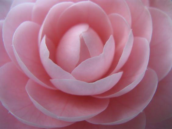 Pink Blossom #japan #nature