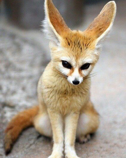 Algeria الجزائر On Twitter Fennec Fox Algeria National Animal الفنك حيوان الجزائر الوطني Algerie Cute Animals Nature Animals Animals