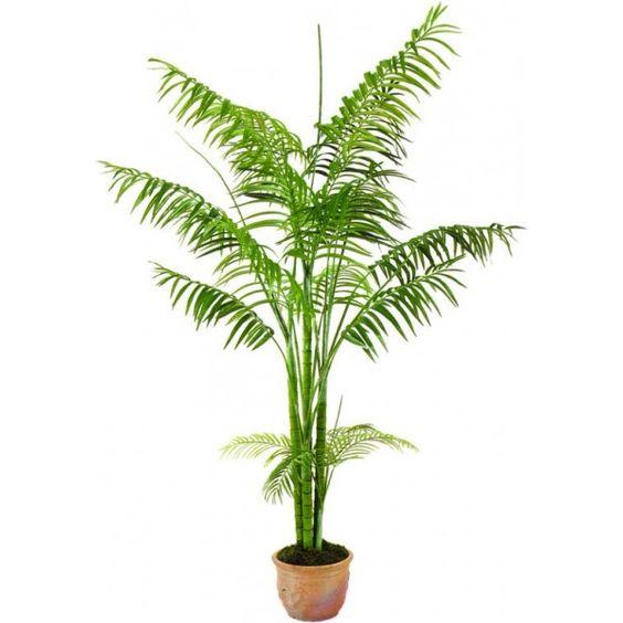 Areca tambi n llamada palma de betel palma mariposa o - Planta interior palmera ...