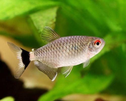 Red Eye Glass Tetra Moenkhausia Sanctaefilomena Tetra Fish Tetra Red Eyes