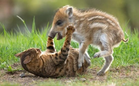 La curiosa y juguetona amistad de un gato de bangala y un pequeño jabato en un centro animal de Dillenburg, Alemania (Barcroft Image, 2016)