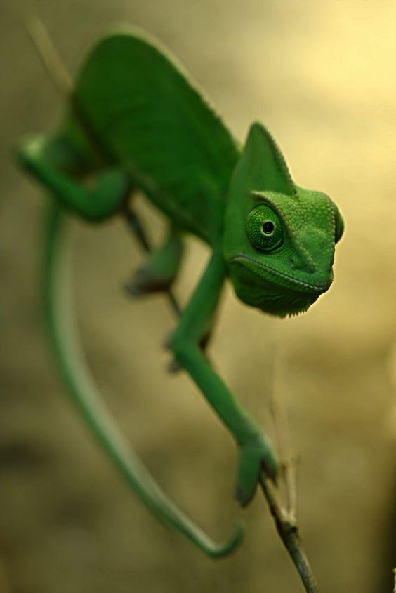 Veiled Chameleon by Michael Molthagen
