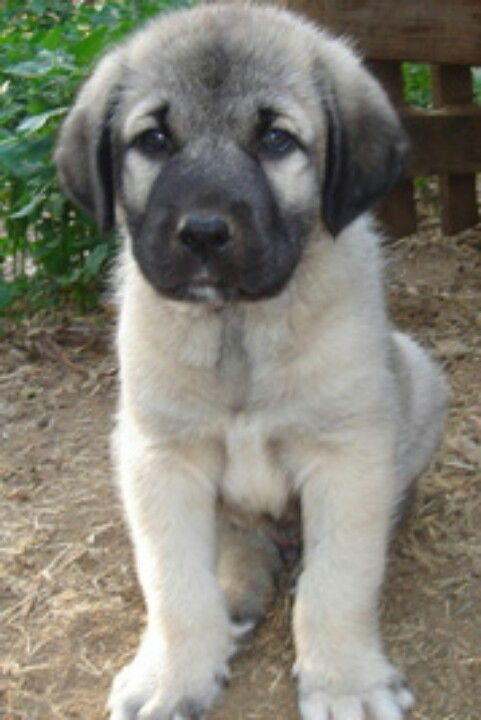 Pics For Gt Kangal Dog Puppy