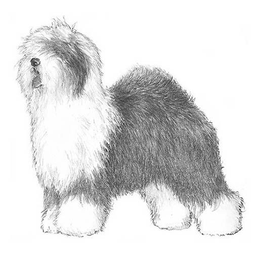 Old English Sheepdog Dog Breed Information Old English Sheepdog
