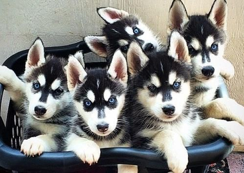 Siberian Husky Dog Breed At Rs 35000 Unit Dog Breeds Testify