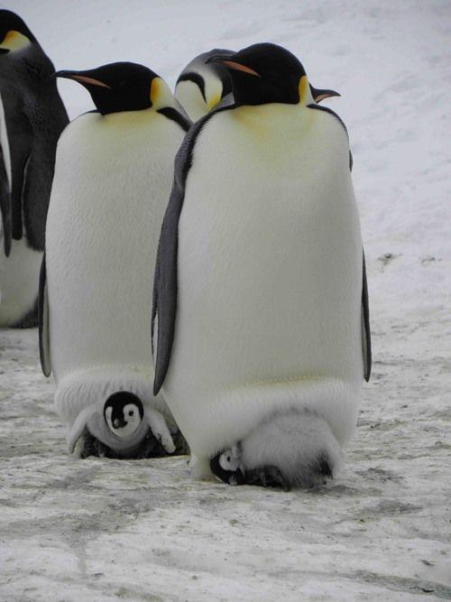 "Little ""Happy Feet"" hiding under Mom"