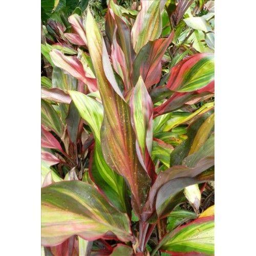 Cordyline Australis Paradise Dream Online Plant Nursery Plant Nursery Plants