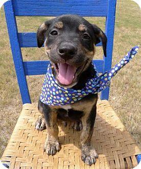 Helena, AL - Labrador Retriever/Rottweiler Mix. Meet Bambam, a puppy for adoption. http://www.adoptapet.com/pet/16570230-helena-alabama-labrador-retriever-mix
