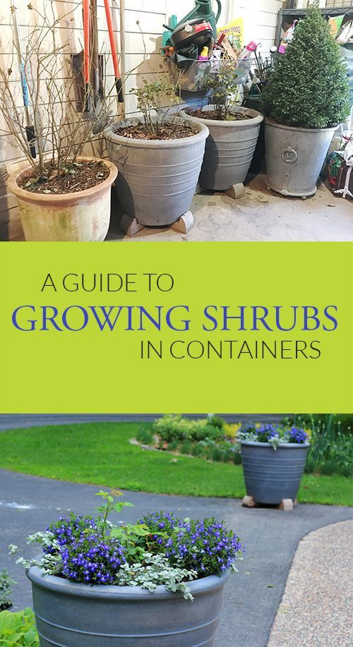 Growing Shrubs In Containers Grow Planting Shrubs Garden Shrubs Container Gardening